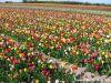 Tulipesenfeudartifice